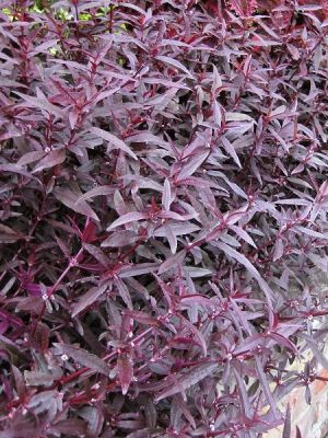 Alternanthera ficoidea Red Threads Bordo Mozaik Çalısı, Saksıda