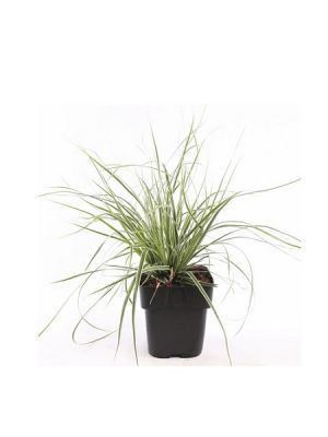Carex oshimensis Everest, Saksıda