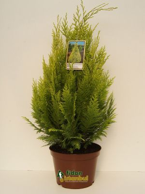 CHAMAECYPARIS lawsoniana 'Ellwood Gold' BP8 28 ALV