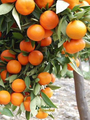 Citrus sinensis Washington Portakal Fidanı WASHİNGTON, +3-4 Yaş, Saksıda