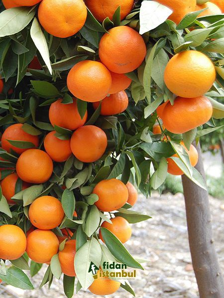 Citrus sinensis Washington Portakal Fidanı WASHİNGTON, +120 cm, Tüplü
