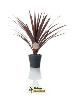CORDYLINE australis 'Red Star' 20-40 cm