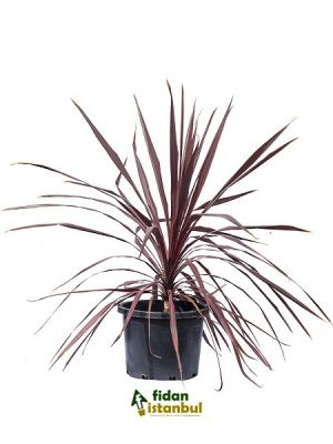 CORDYLINE australis 'Red Star' BG9 .