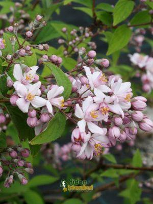 DEUTZIA 'Mont Rose' BRP 30/45 2 BRANCHES