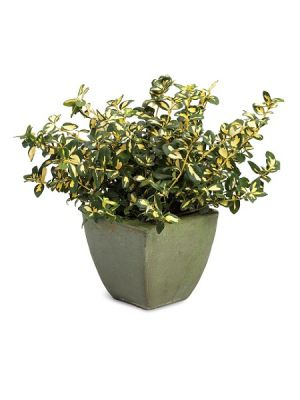 EUONYMUS fortunei BLONDY® 'Interbolwi' BG8 RAMIFIE