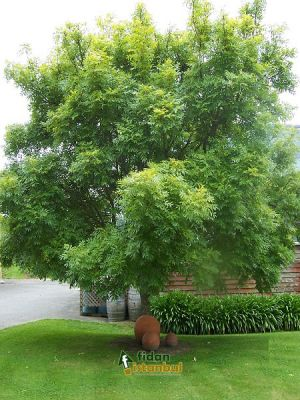 FRAXINUS americana SRP 80/100