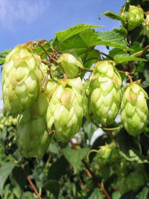 Humulus lupulus(central and south Europe West Asia North Amercia)