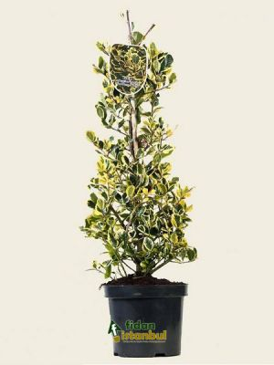 ILEX altaclerensis 'Golden King' BG9 .