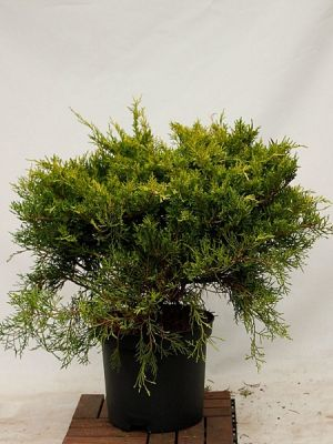 JUNIPERUS media 'Gold Coast' BG9 RAMIFIE