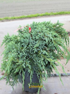 JUNIPERUS squamata 'Blue Carpet' BA4 108 ALV