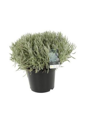 Lavandula intermedia Dutch, 20-40 cm, Saksıda