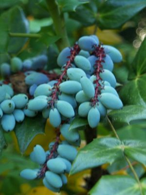 Mahonia bealei(China)