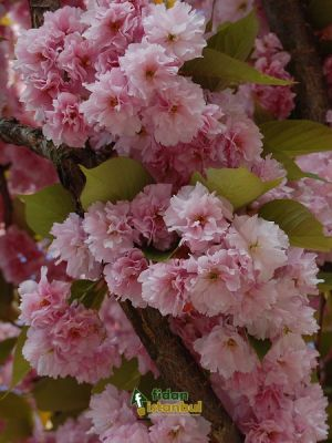 Prunus serrulata(Japan)