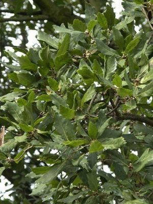 Quercus turneri