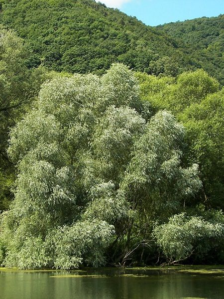 Salix alba-White Willow(central Europe)