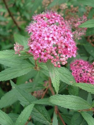 SPIRAEA japonica 'Anthony Waterer' BRP 15/20 RAMIFIE