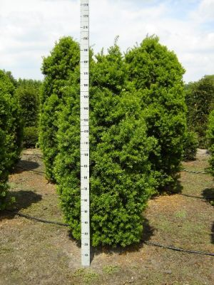 TAXUS media 'Hicksii' BG9 12/15