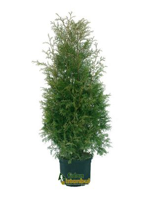 THUJA occidentalis 'Brabant' BG9 15/20