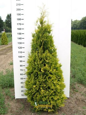 THUJA occidentalis 'Yellow Ribbon' BG9 15/20