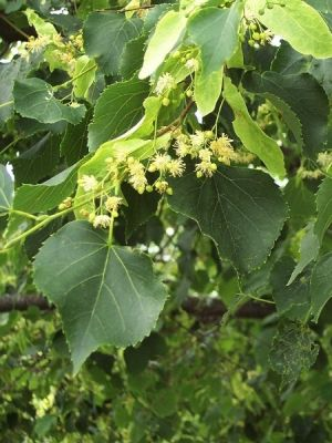Tilia cordata Fidanı-Small-leaved Lime(central Europe)