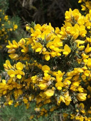 Ulex europaeus-Common Gorse(central Europe,Northern Europe)