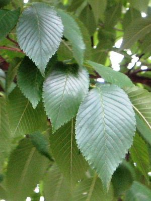 Ulmus hollandica