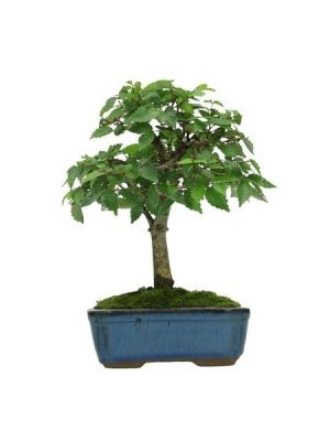Zelkova Bonsai Japon Karaağacı Bonsai, Saksıda