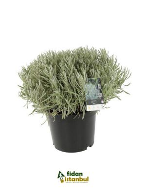 Lavandula İntermedia Dutch, 20-40 cm, Saksıda