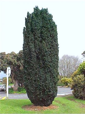 TAXUS baccata SRP 12/20